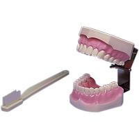 9512400 Brush and Floss Model Model, 355636